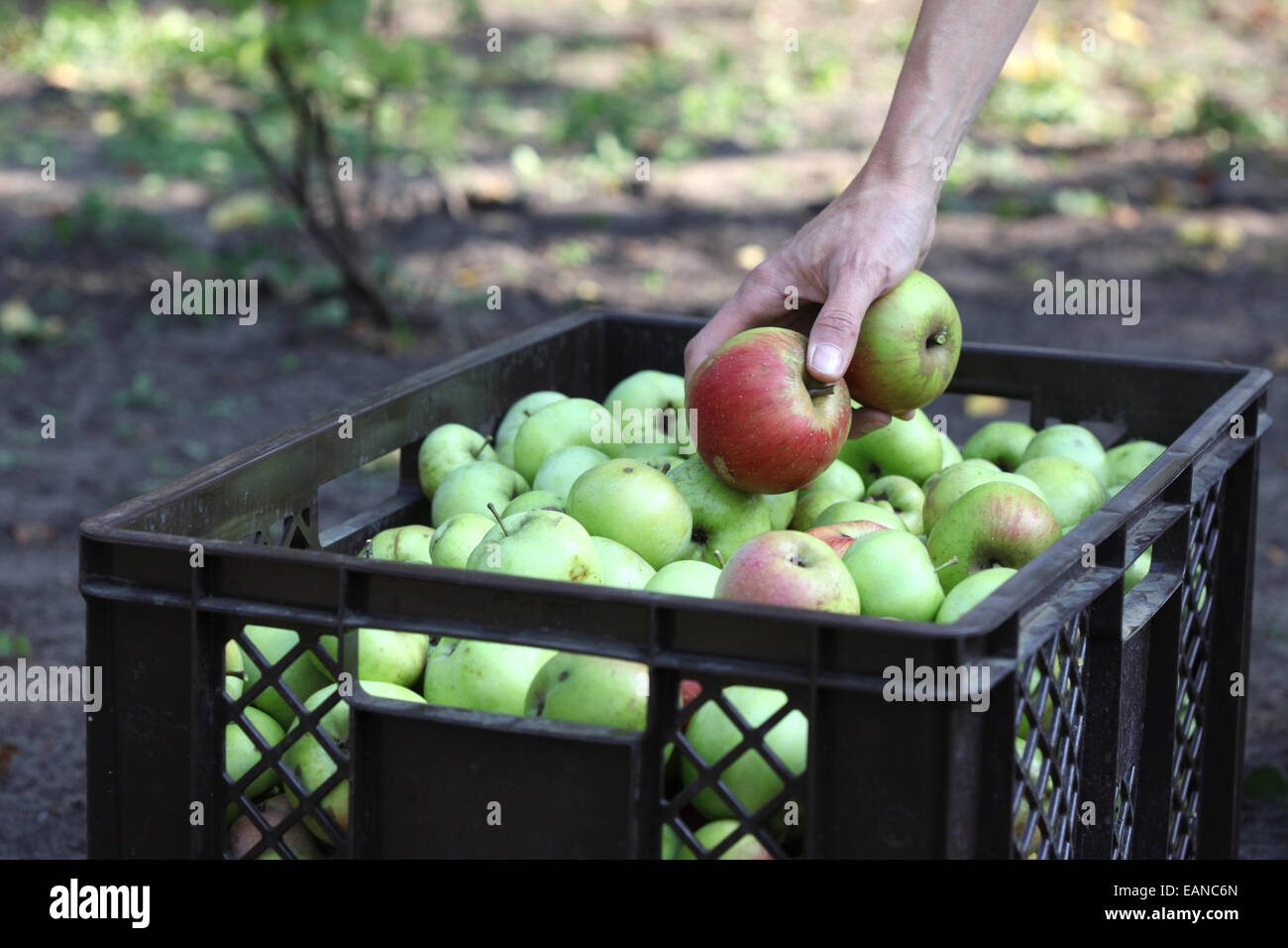Close-up of a hand gathering apples in an urban gardening project - Stock Image