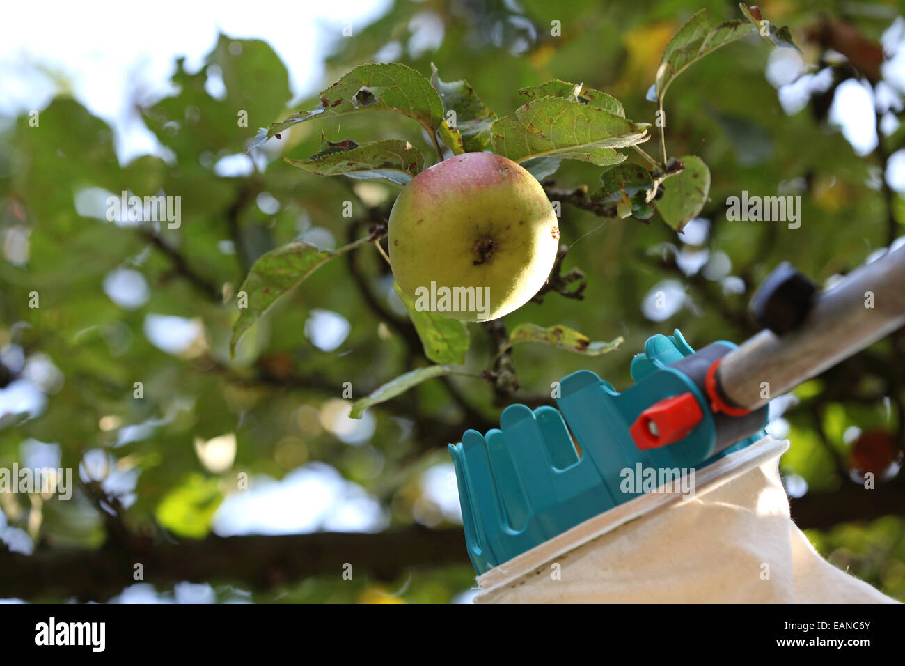 Urban apple harvest using a pick aid - Stock Image