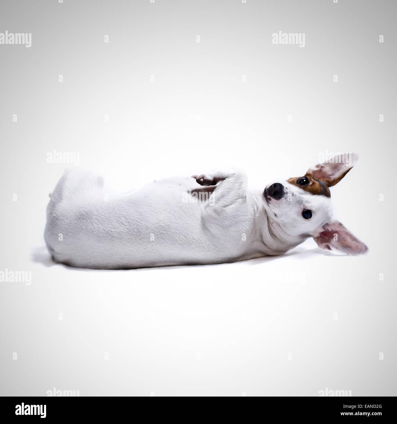 Dog laying upside down on back, isolated on white - Stock Image