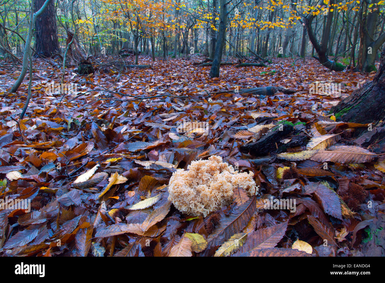 Cauliflower fungus Sparassis crispa growing parasitically on the roots of conifer Stock Photo