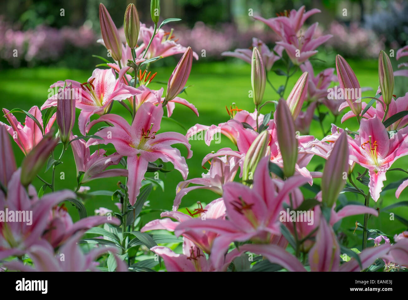 Tiger Lilies Flowers Stock Photos Tiger Lilies Flowers Stock