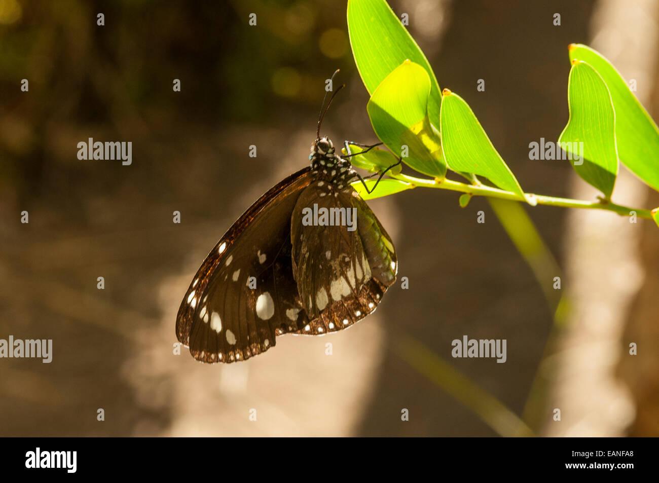 Common Crow Butterfly, Euploea core in Emma Gorge, El Questro, the Kimberley, WA, Australia - Stock Image