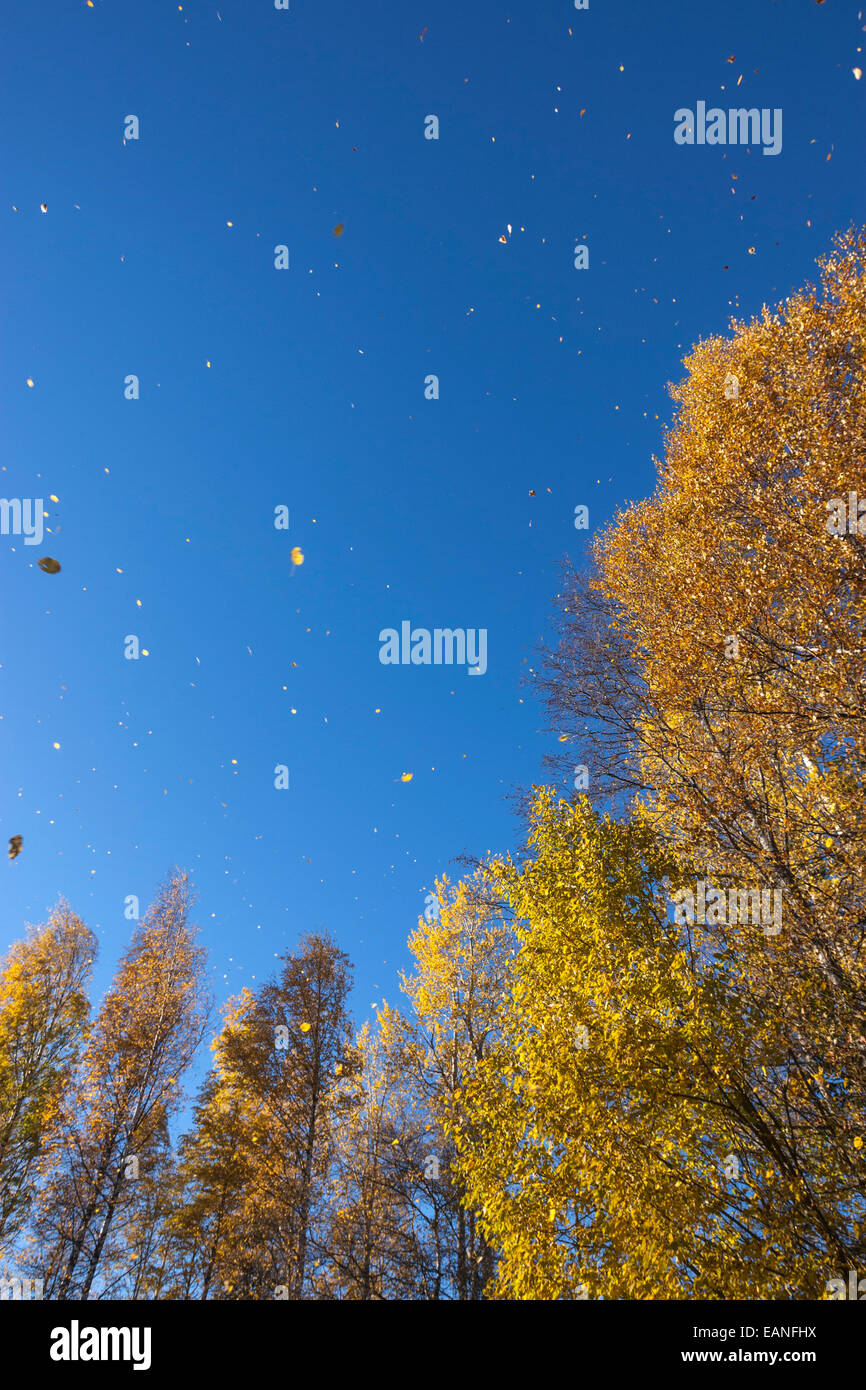 Fall rainy of leaves from Silver birch, Finland national tree, forest - Stock Image