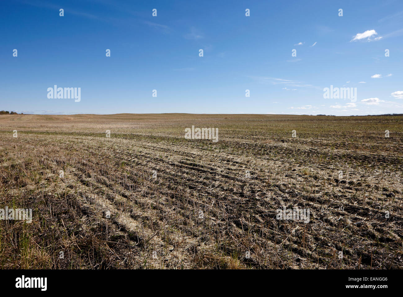 crop stubble in a newly harvested field in rural prairie Saskatchewan Canada stubble is often retained to prevent - Stock Image