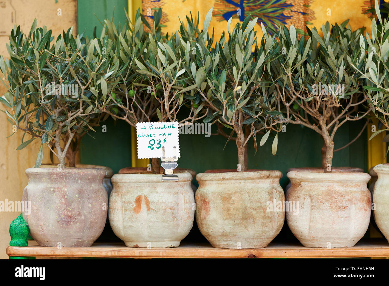 Small Olive Trees In Pots Bonsai Plants For Sale In