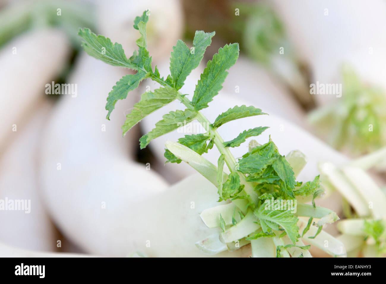 A Daikon leaf at the Berkeley Farmer's Market. - Stock Image