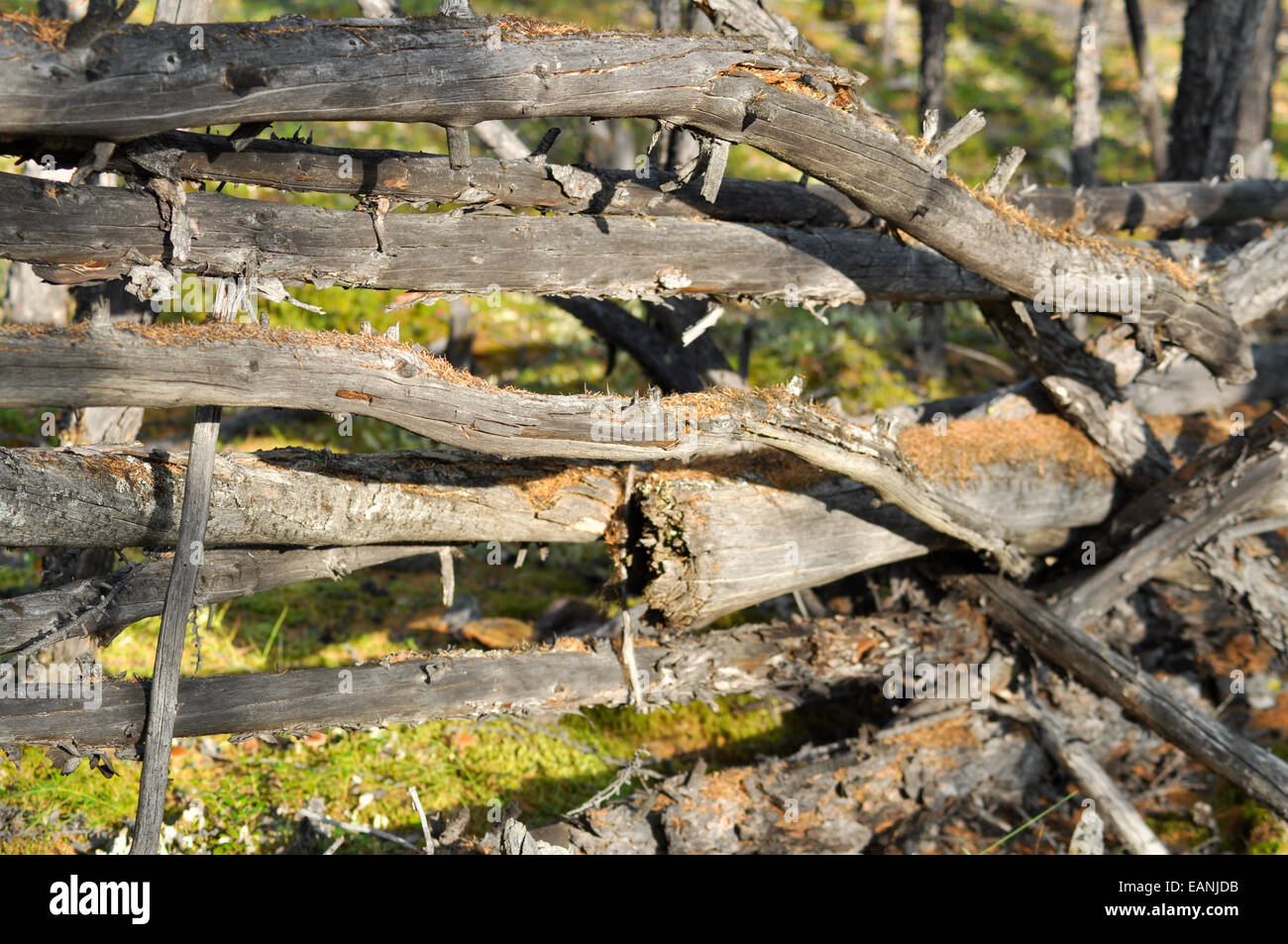 In a distant Yakut taiga on the edge of the earth. The old fence covered with moss. - Stock Image