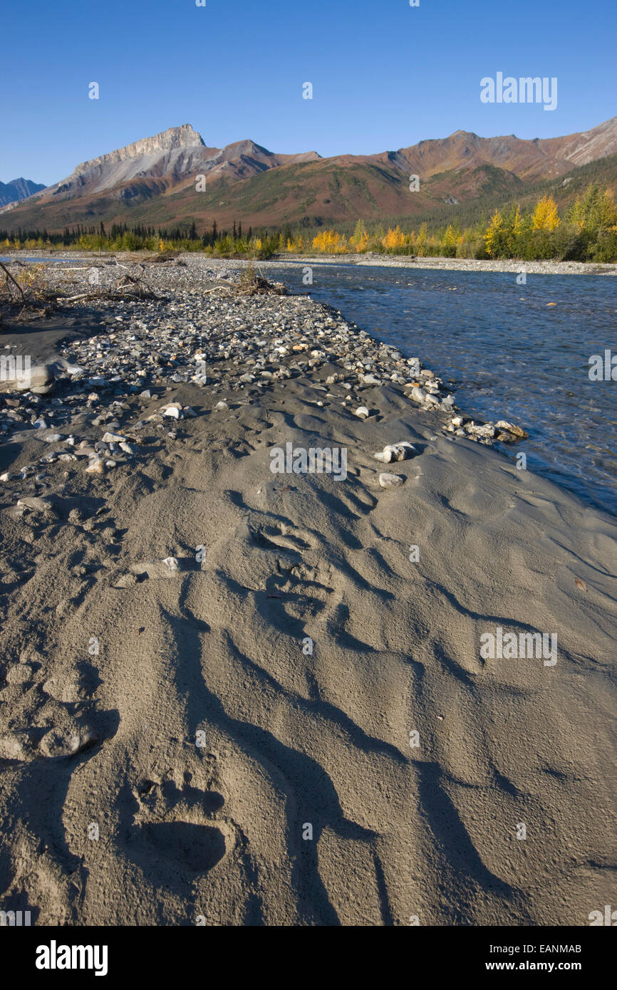 Grizzly Bear Tracks Along The Dietrich River, Brooks Range In Arctic, Alaska. - Stock Image