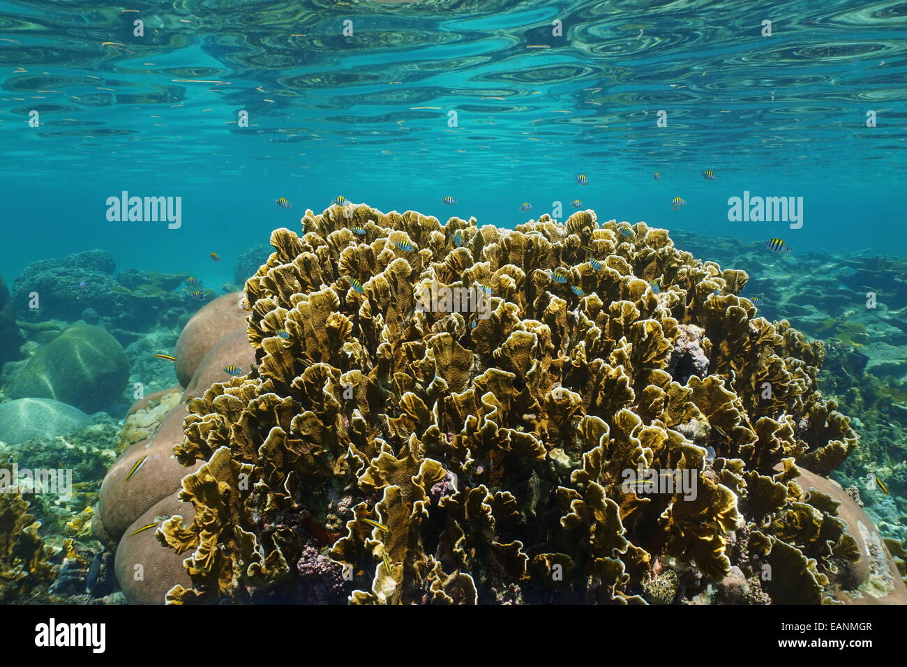Bladed fire coral with small fish in a reef and ripples of underwater surface, Caribbean sea, Panama - Stock Image