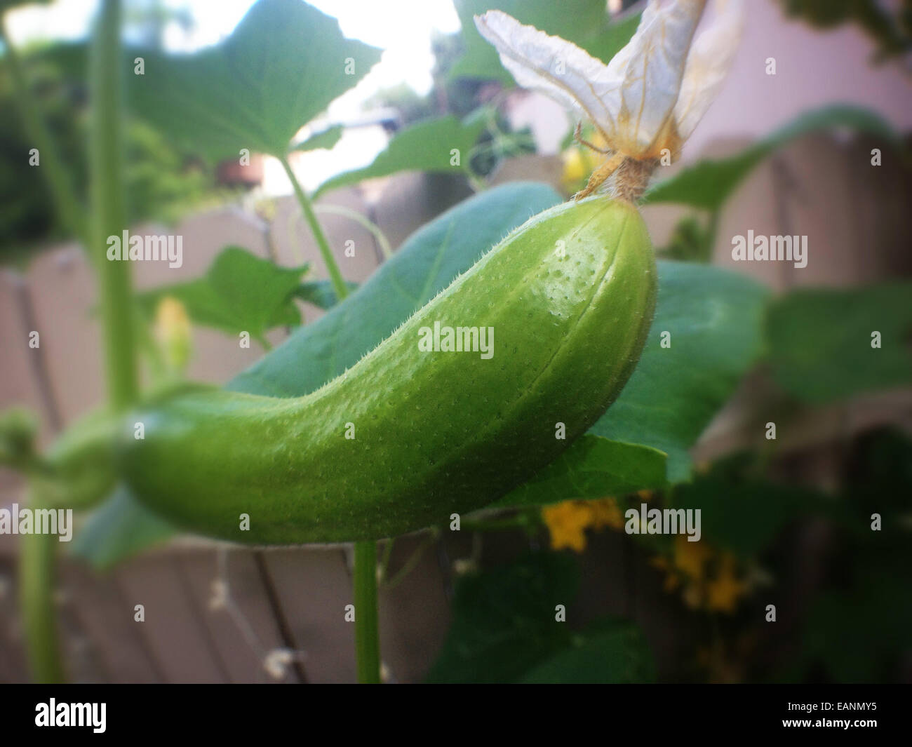 cucumber with blossom on the vine - Stock Image