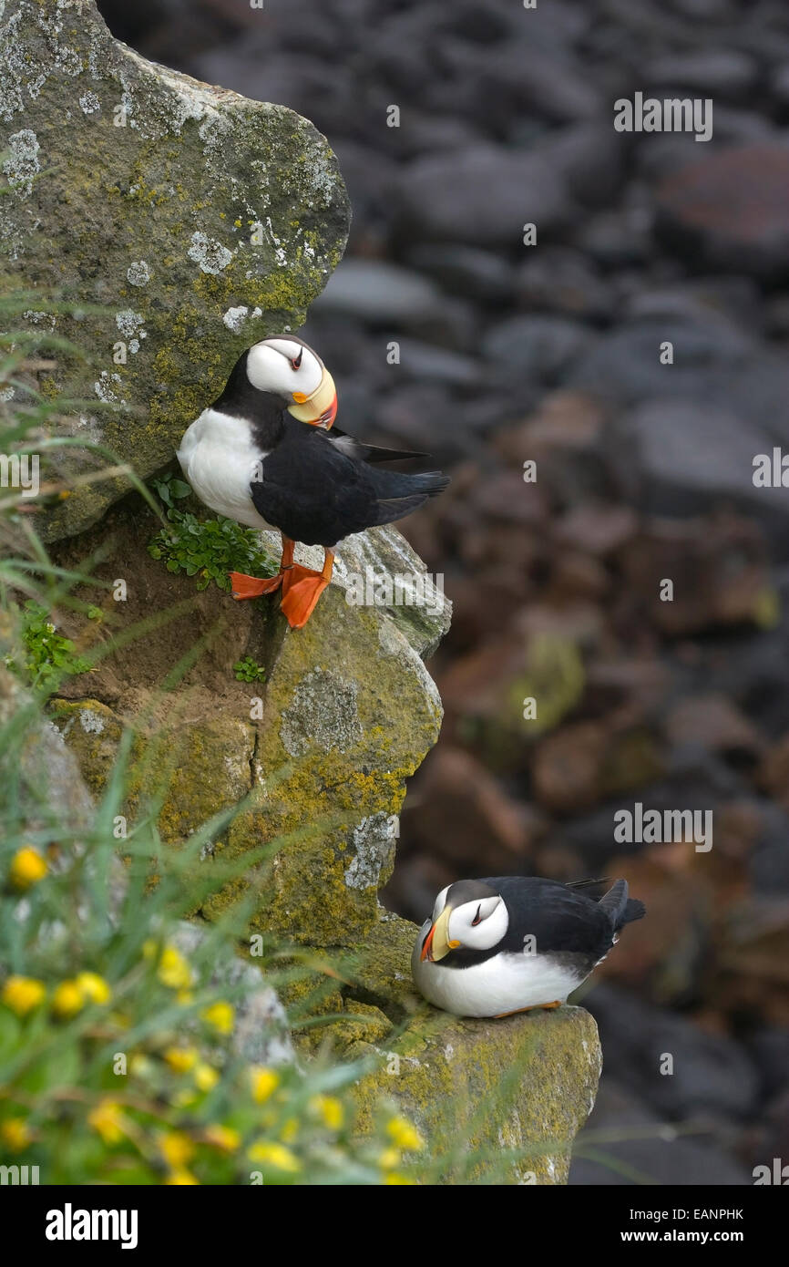 Two Horned Puffins Perched On A Cliffside St Paul Island Of The Pribilof Islands