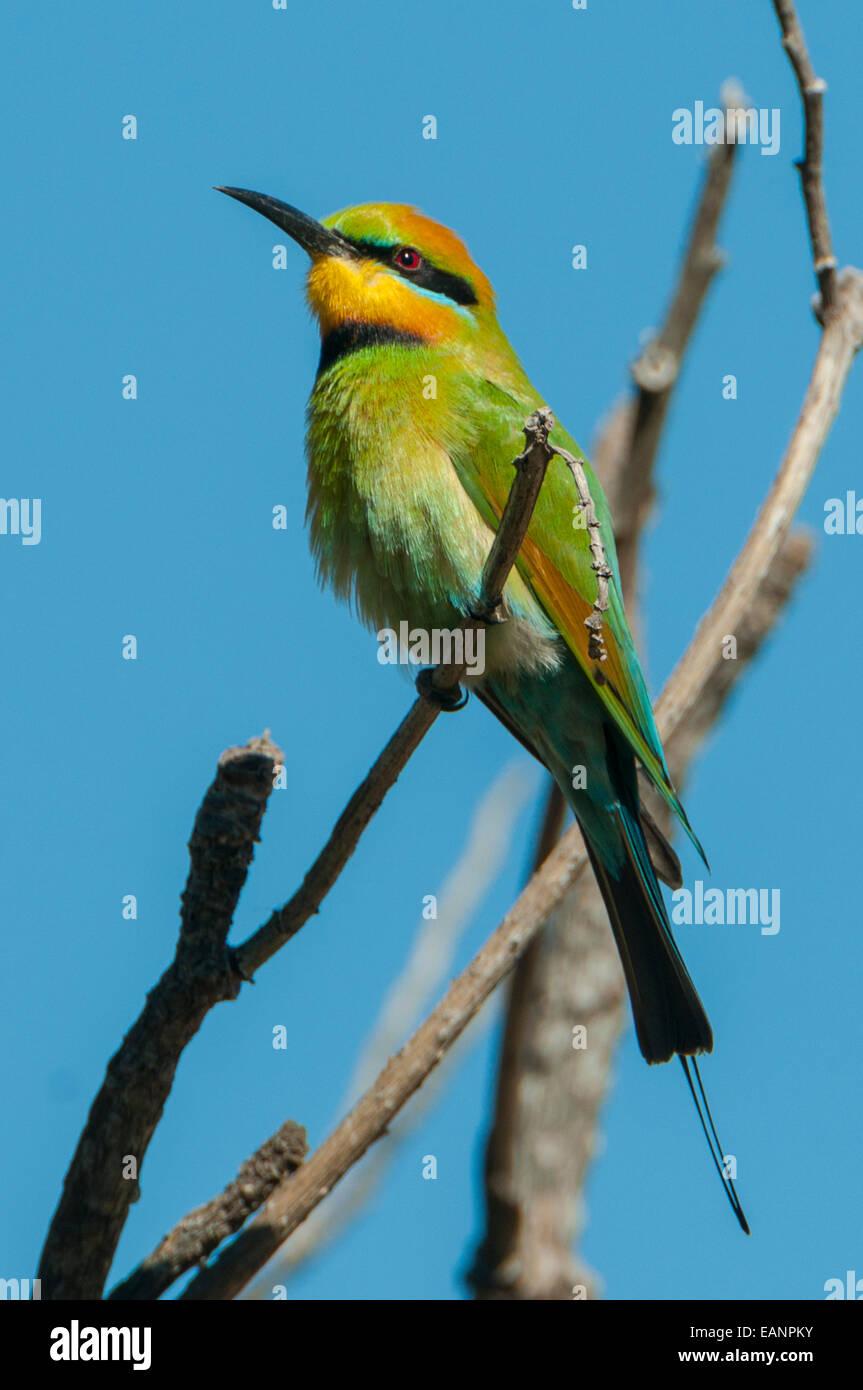 Rainbow Bee-eater, Merops ornatus at Mt Hart, the Kimberley, WA, Australia - Stock Image