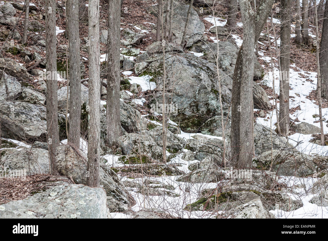 The grays and browns of the winter landscape in the woods of Durham Connecticut - Stock Image