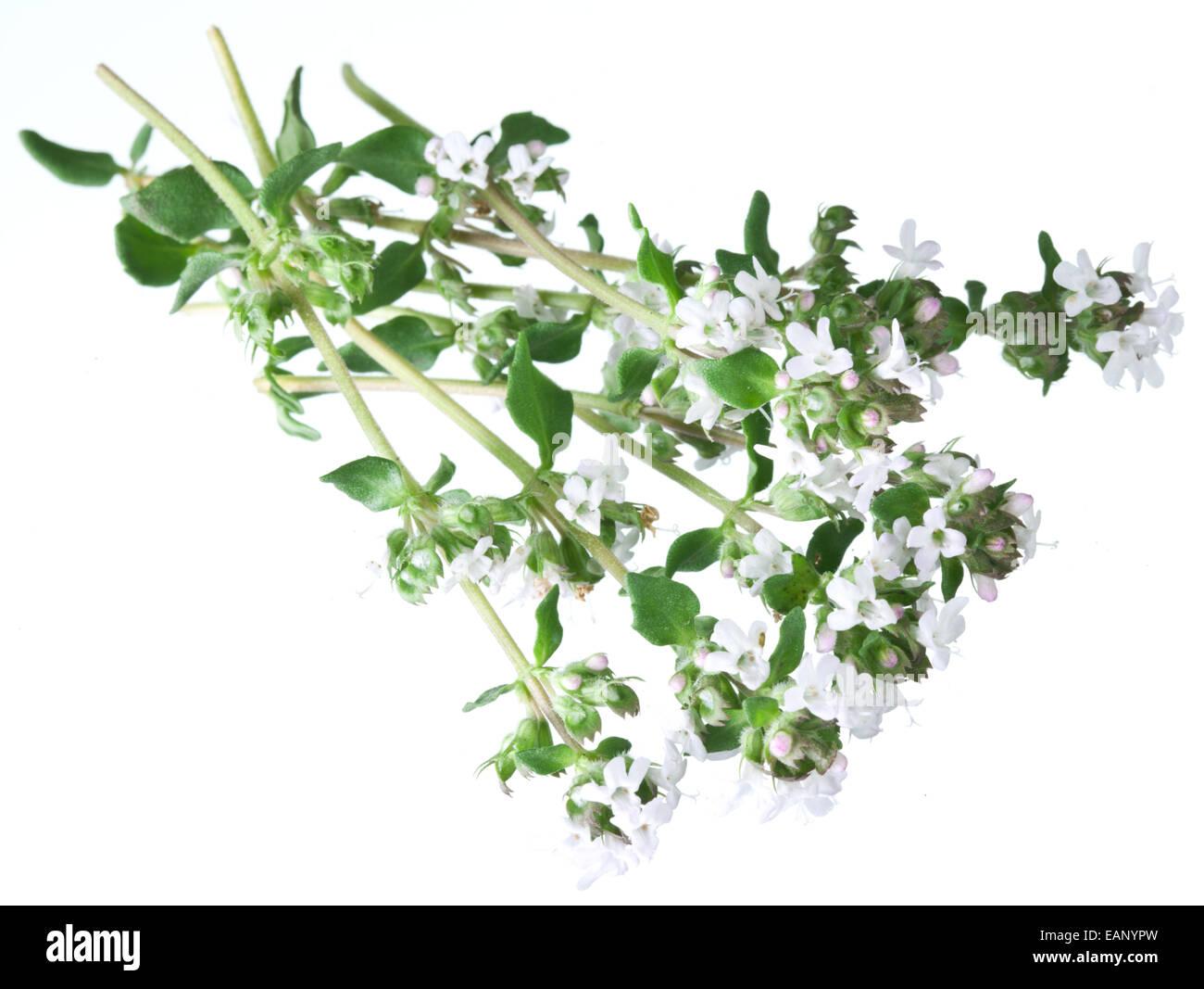 Fresh White Flowers On Oregano Stock Photos Fresh White Flowers On