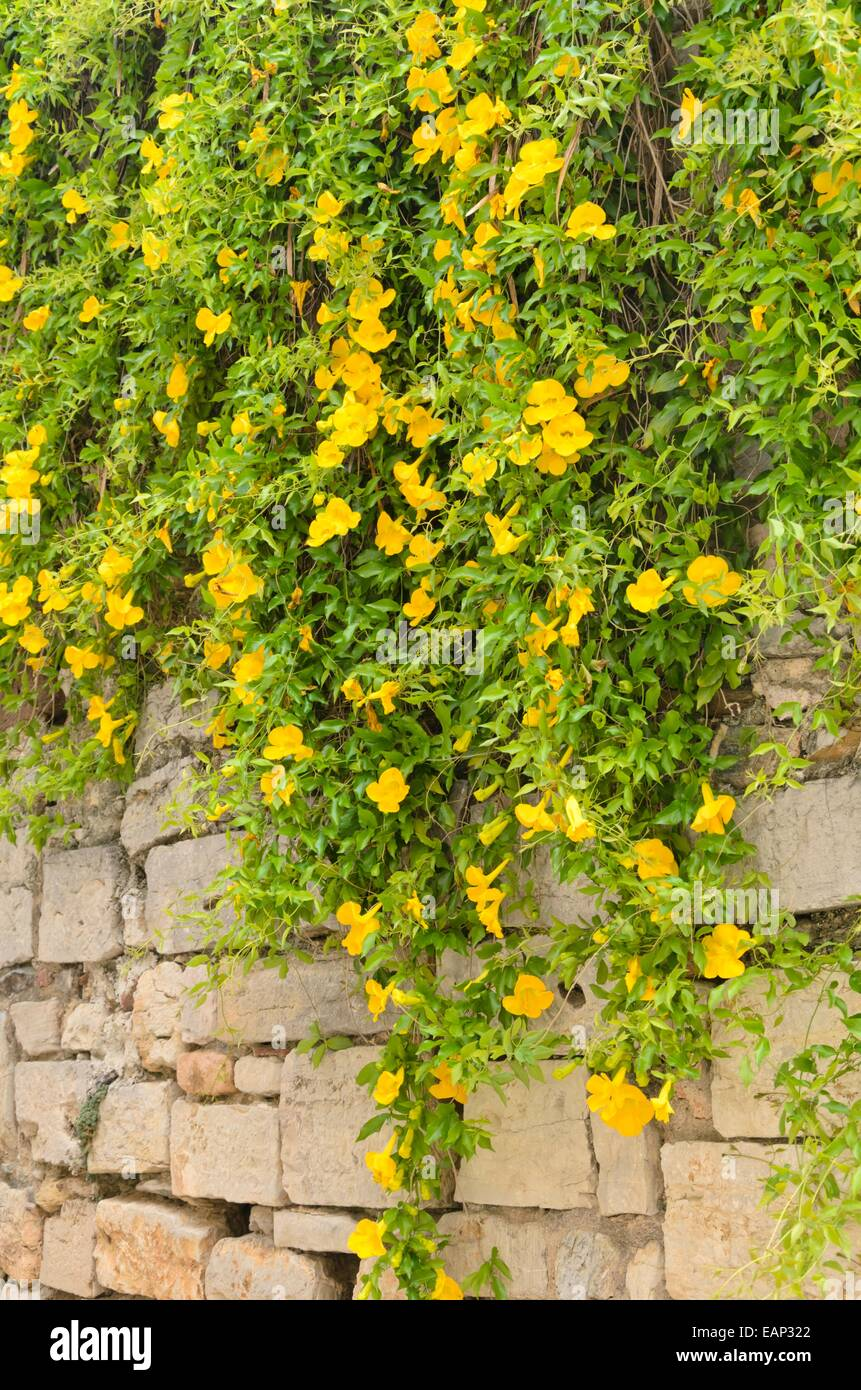 Claw Creeper Stock Photos & Claw Creeper Stock Images - Alamy