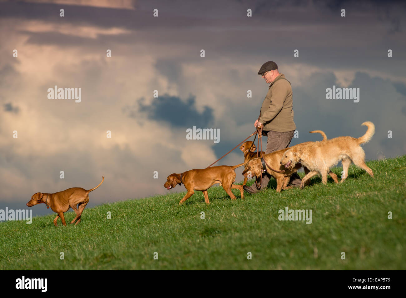 A man walking his dogs, all of them Hungarian Vizslas, on the South Downs, near Brighton, East Sussex. Stock Photo