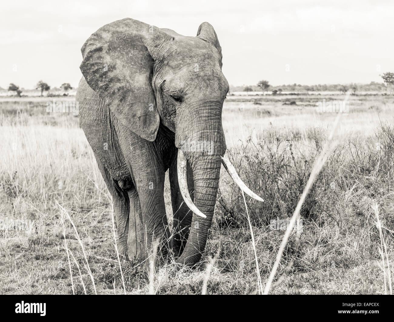Male elephant on the savanna in Tanzania, Africa. - Stock Image
