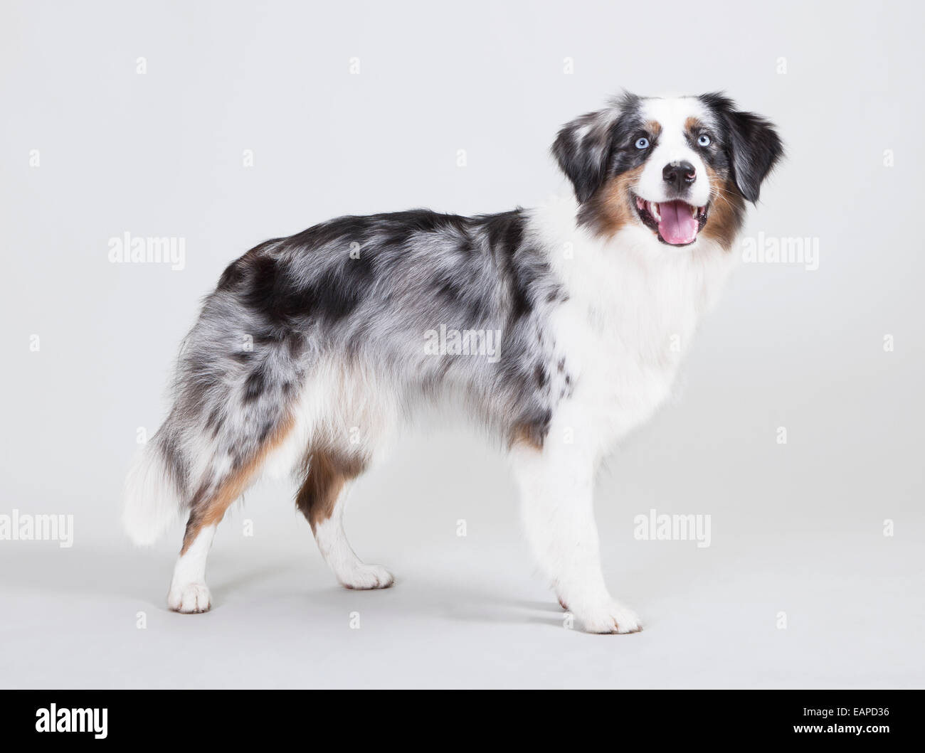 Australian Shepherd With The Color Blue Merle In Front Of