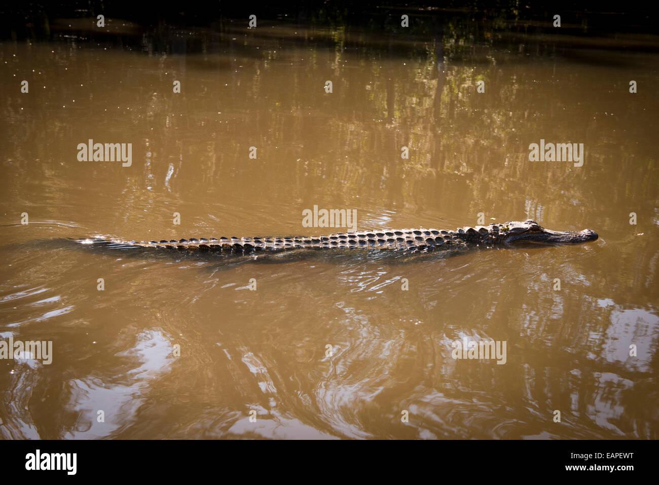 Alligator in a swamp, The Bayou. Louisiana Stock Photo