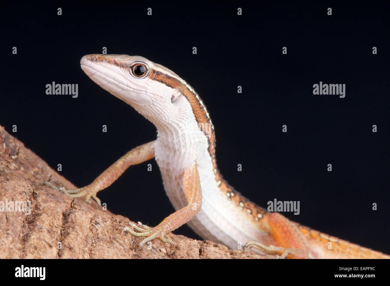 Spotted grass lizard / Takydromus sexlineatus occelatus - Stock Image