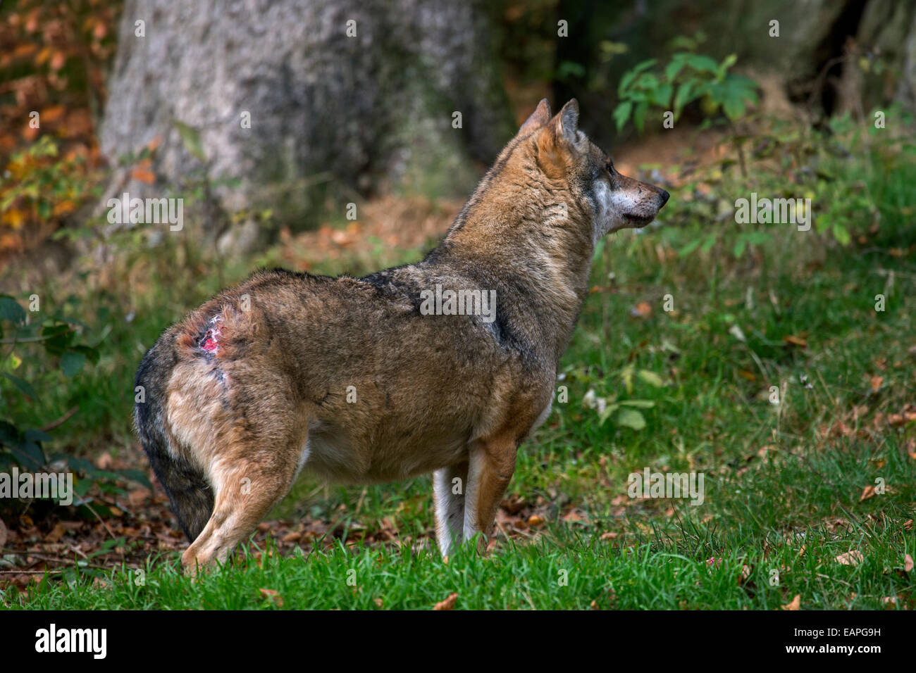Subordinate European Grey Wolf (Canis lupus) woundad above lowered tail after fight with dominant alpha male - Stock Image