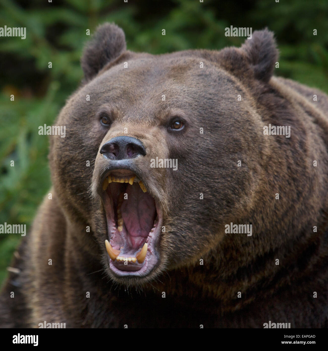 Close up of aggressive European brown bear (Ursus arctos arctos) growling in pine forest - Stock Image