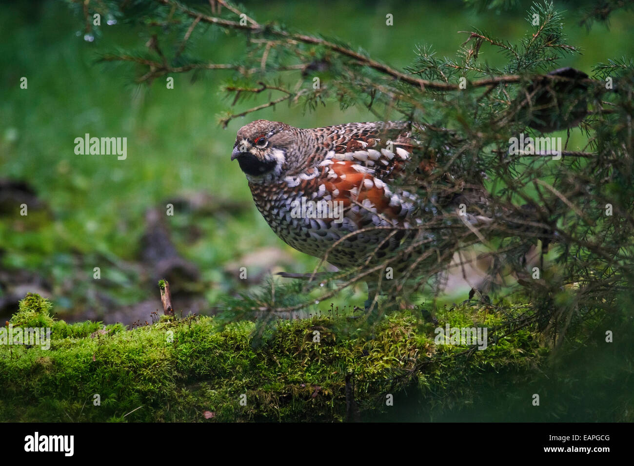 Hazel grouse / hazel hen (Tetrastes bonasia / Bonasa bonasia) male in forest - Stock Image