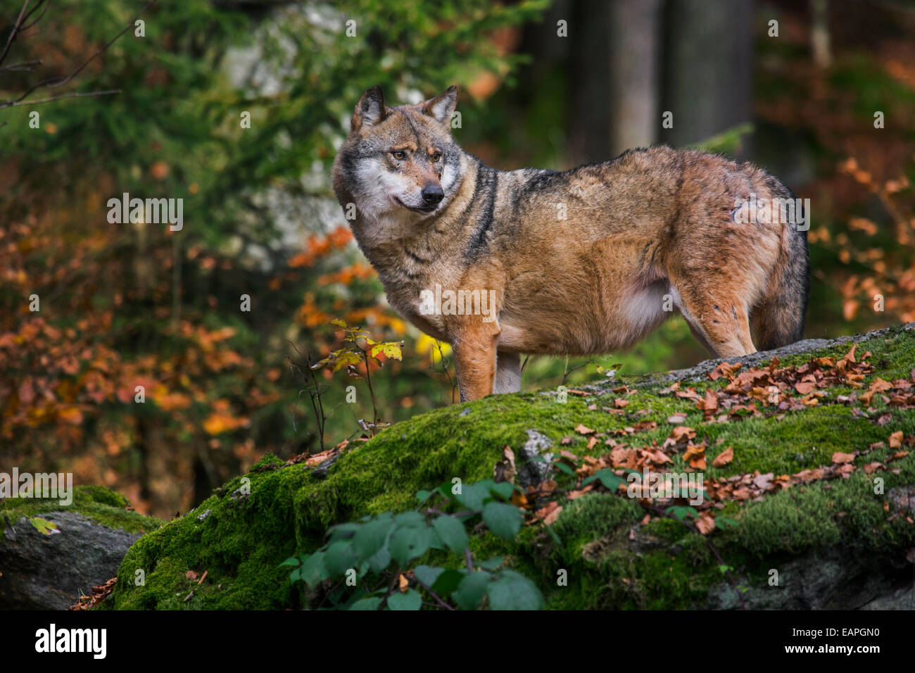 European grey wolf (Canis lupus) looking for prey from rock in autumn forest - Stock Image