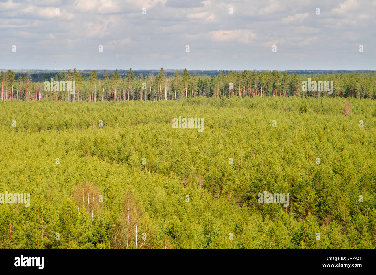 Forest plantations in northeast Latvia - Stock Image