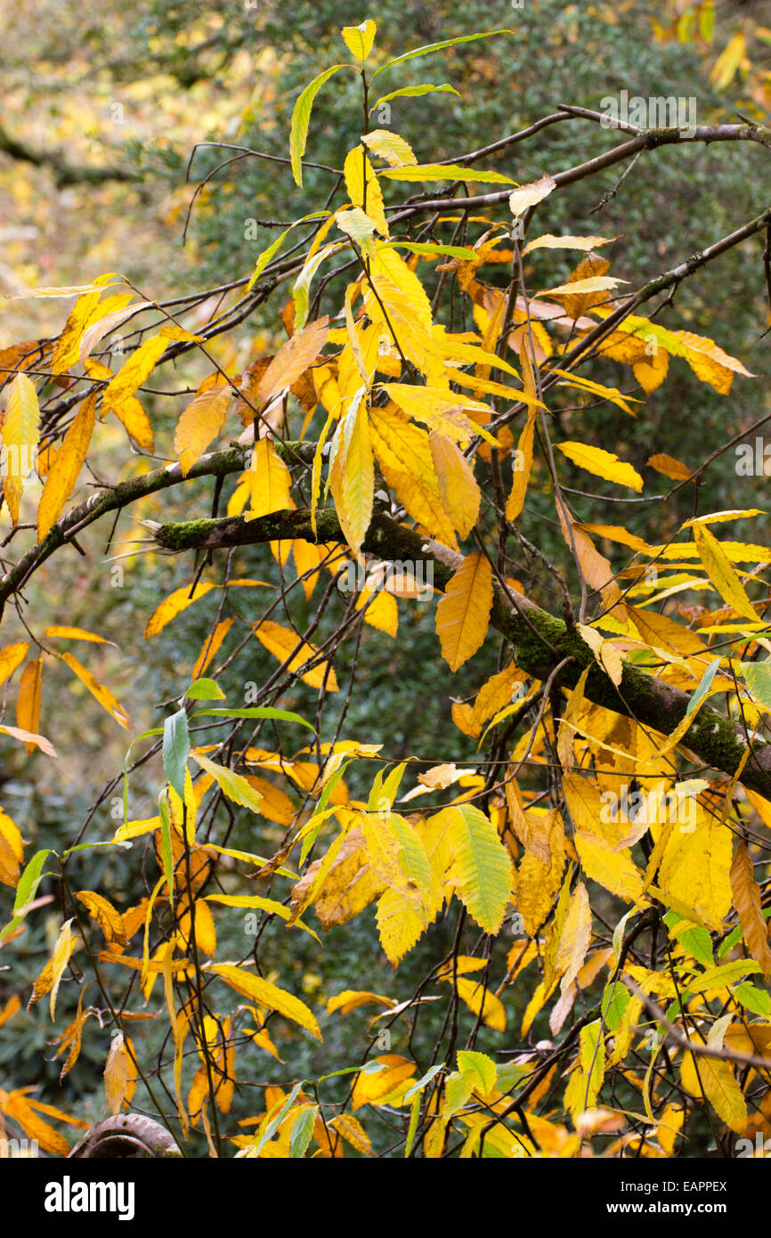 Yellow autumn foliage of the sweet chestnut, Castanea sativa Stock Photo
