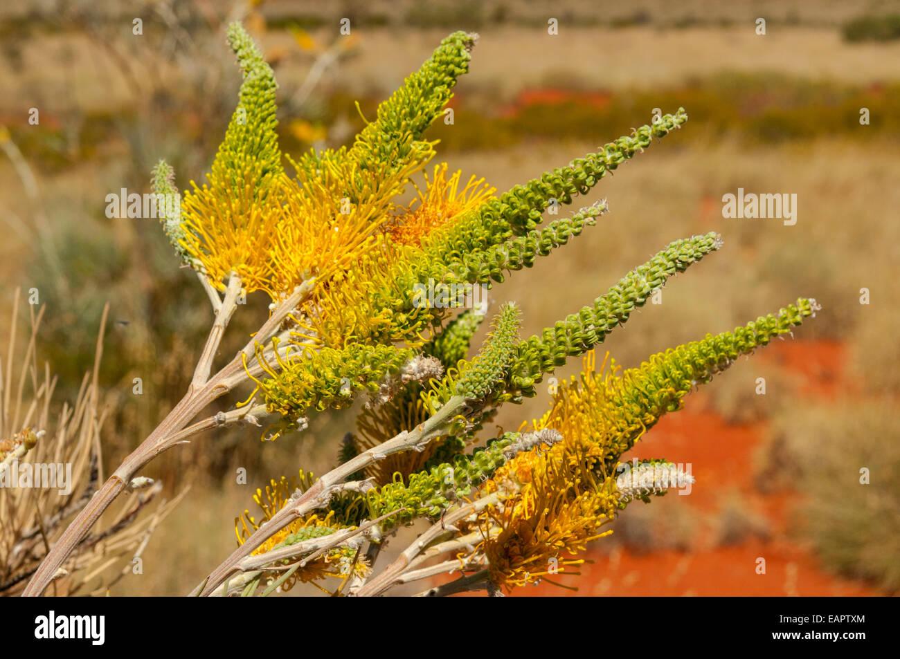 Grevillea poorinda, Golden Lyre, near Exmouth, WA, Australia - Stock Image