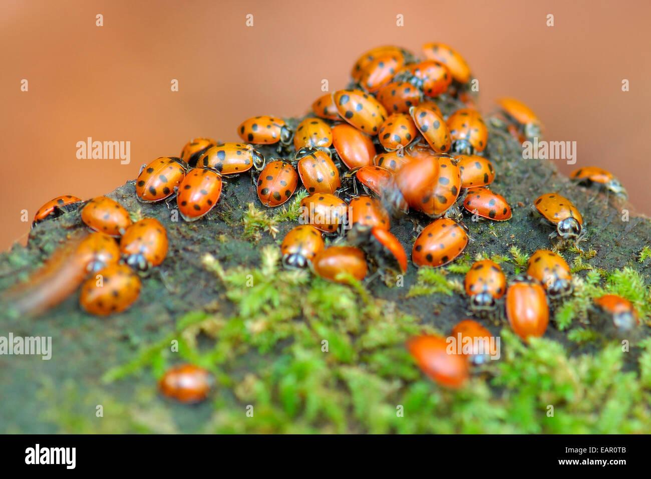 Hibernating Ladybugs, Ladybird Beetles, Muir Woods, Mill Valley, California - Stock Image