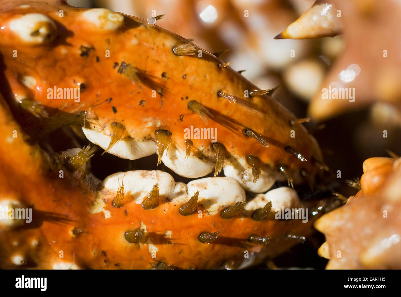 Close Up Of A Brown Crab Claw, Alaska - Stock Image