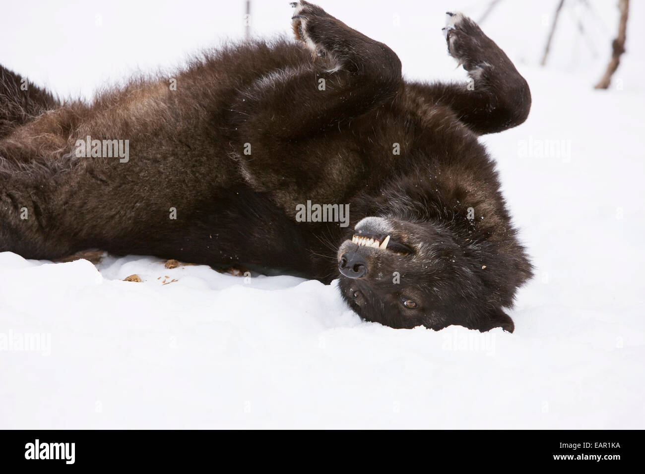 Wolf Rolling Ground Stock Photos & Wolf Rolling Ground ...
