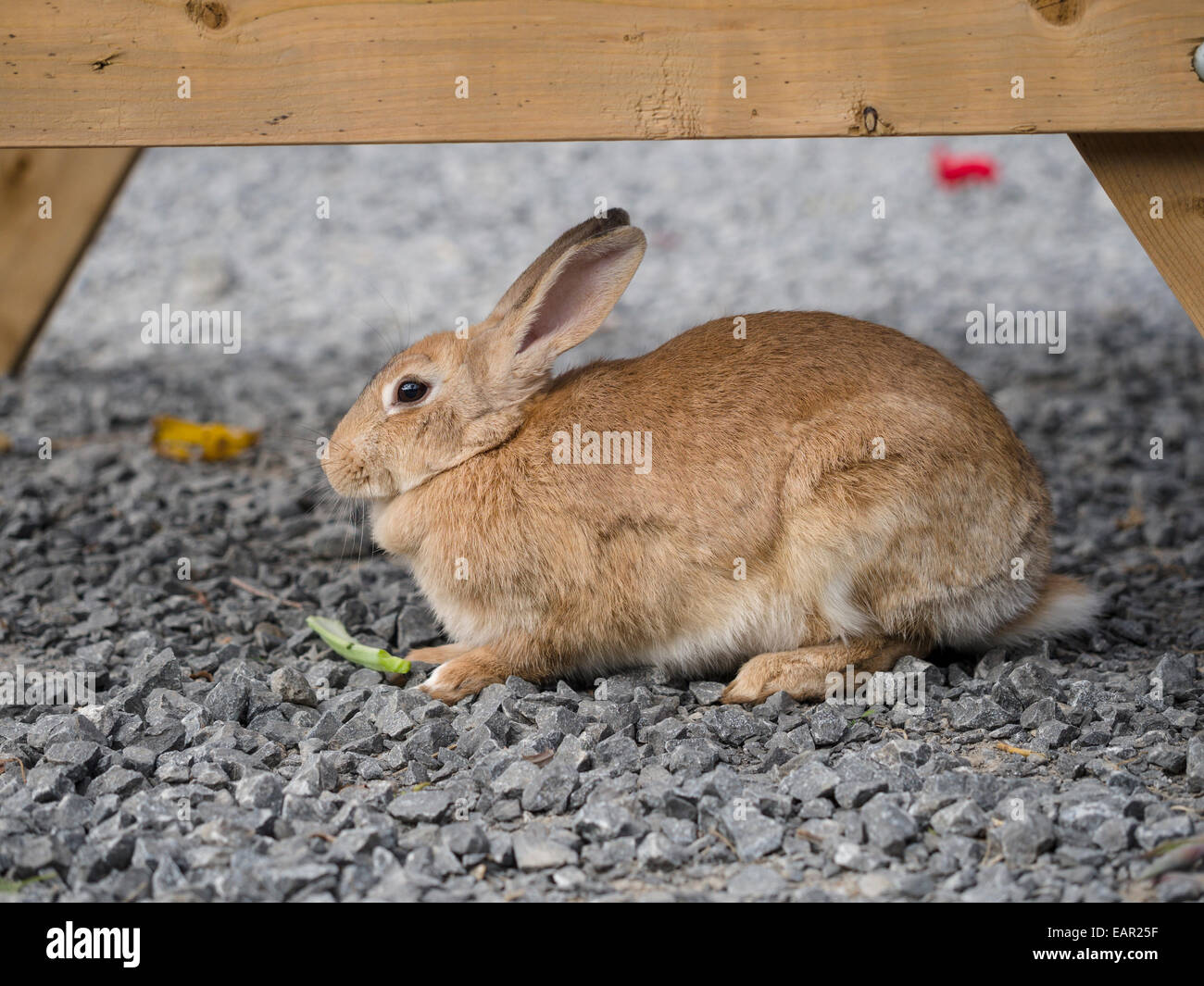 Brown Rabbit Stock Photos Amp Brown Rabbit Stock Images Alamy