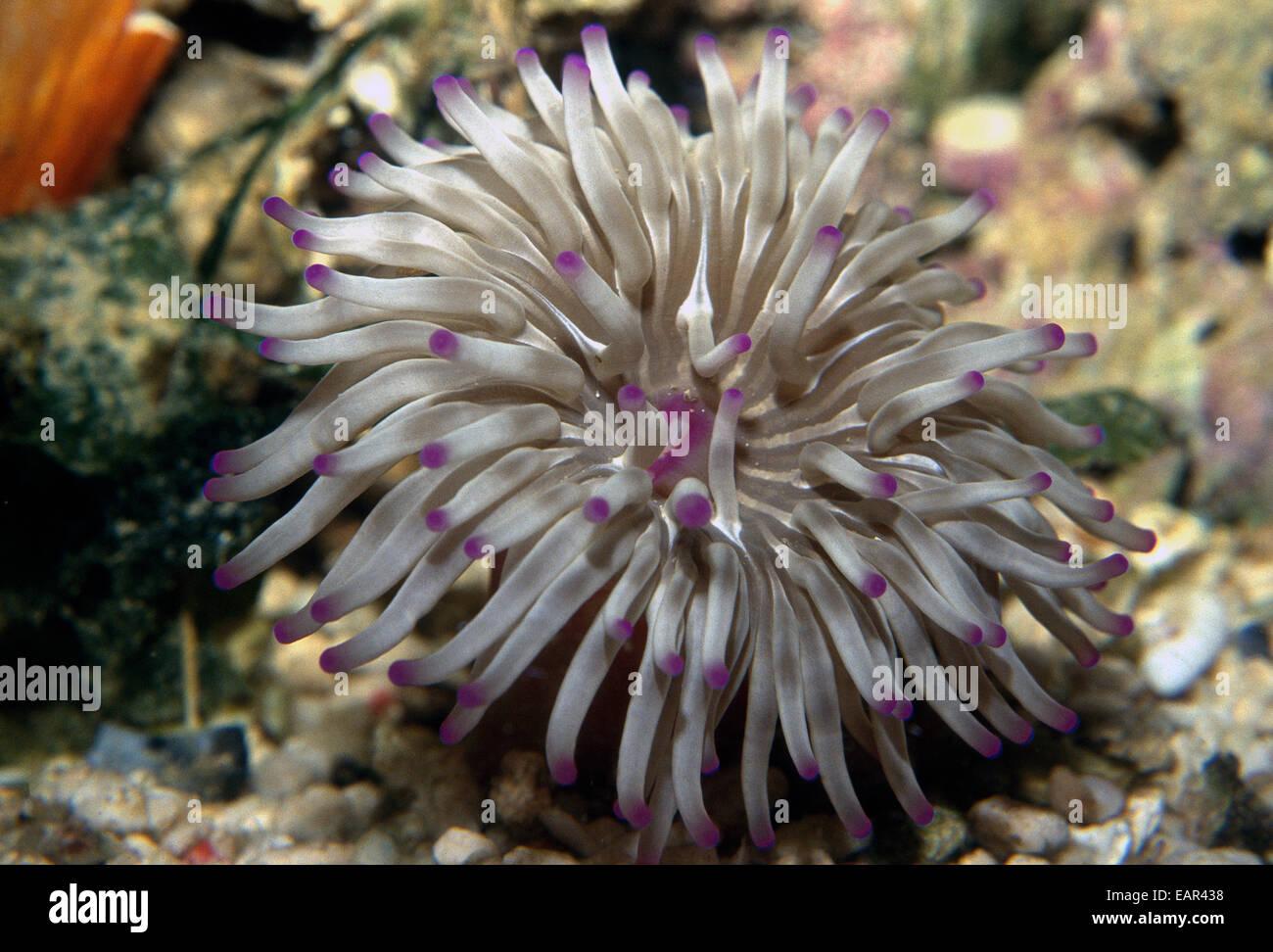 Sea Anemone Stock Photos Amp Sea Anemone Stock Images Alamy
