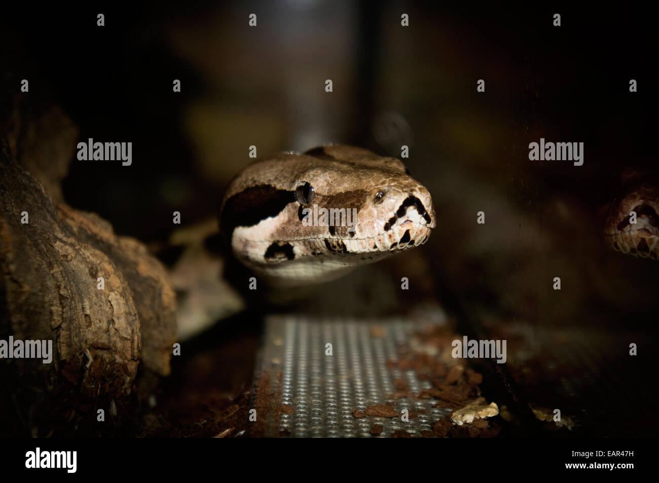Boa Constrictor Snake Reptile Terrarium Glass Ctk Photo Libor