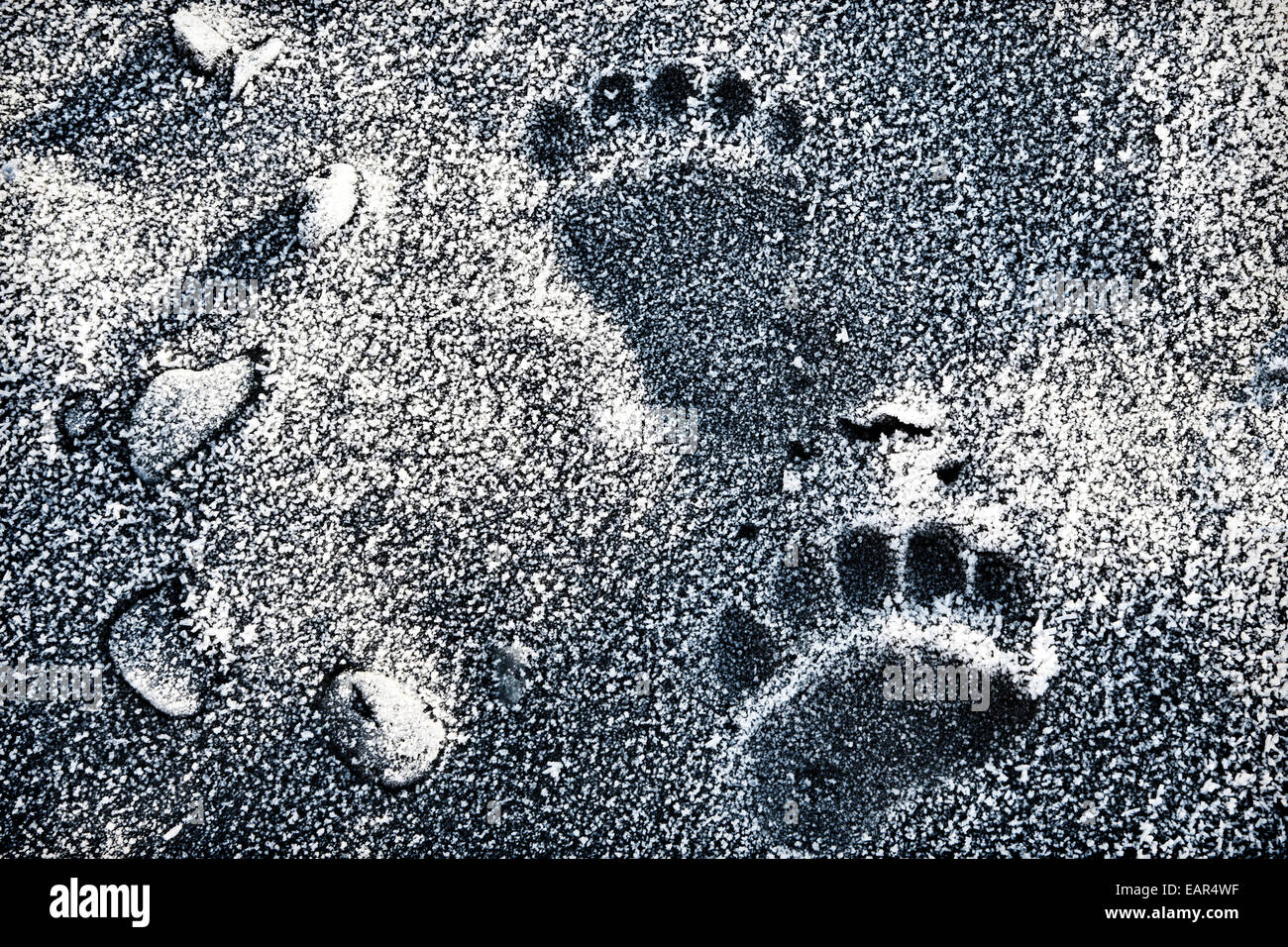 Alaskan brown bear tracks on a frost covered beach, close up. - Stock Image