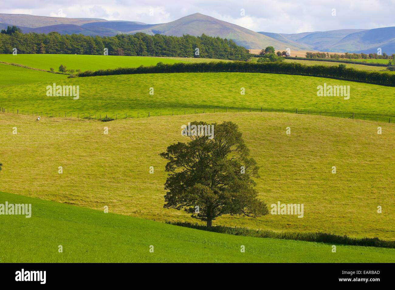 Tree in field below Dufton Pike. Kirkby Thore, Eden Valley, Cumbria, Settle to Carlisle Railway Line, England, UK. - Stock Image
