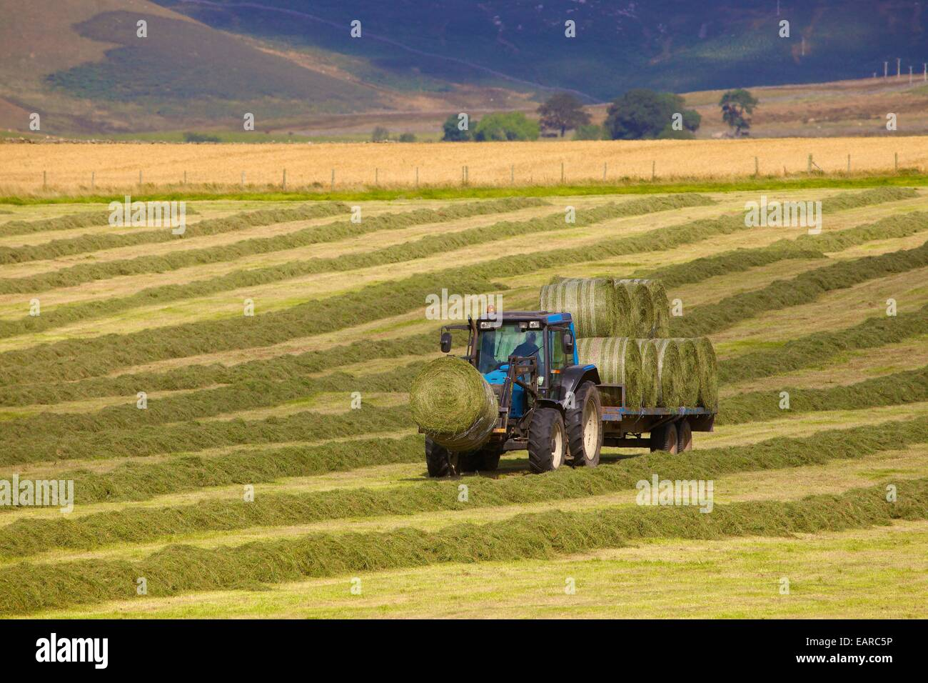 Tractor and trailer transporting hay bails. Eden Valley, Cumbria, England, UK. Stock Photo
