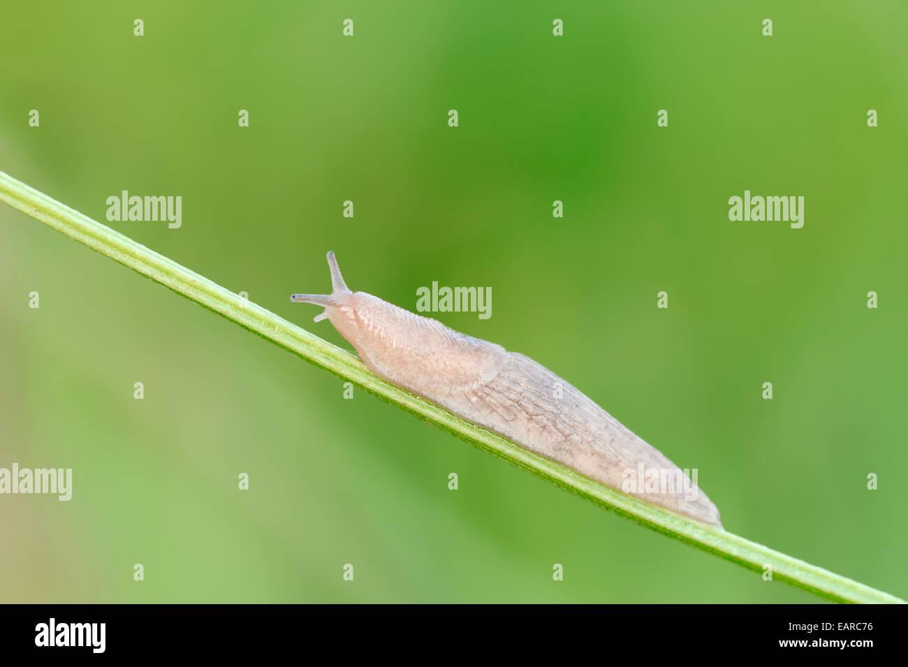 Grey Garden Snail (Deroceras reticulatum) on blade of grass, North Rhine-Westphalia, Germany - Stock Image