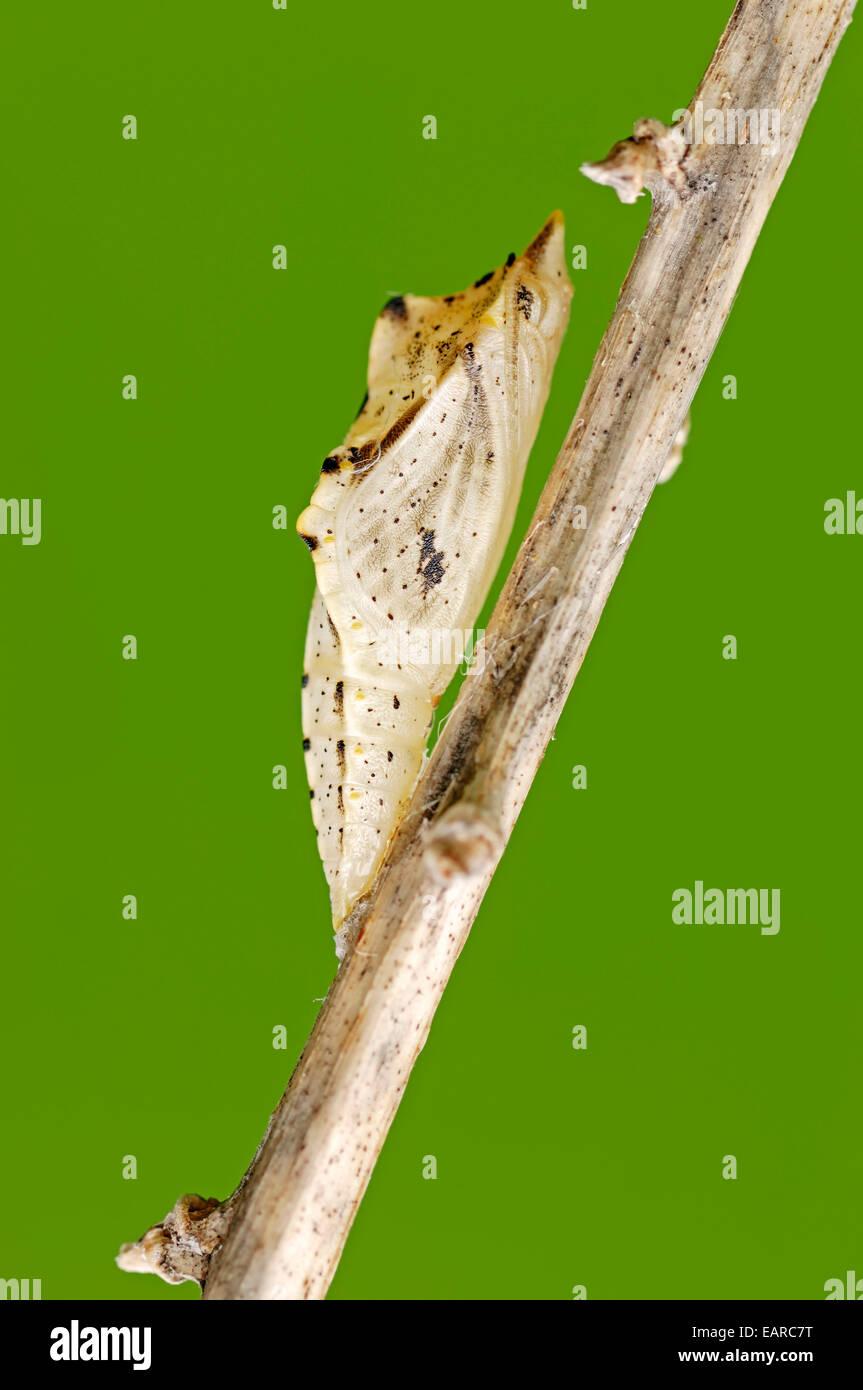 Green-veined White (Pieris napi), pupa, North Rhine-Westphalia, Germany - Stock Image
