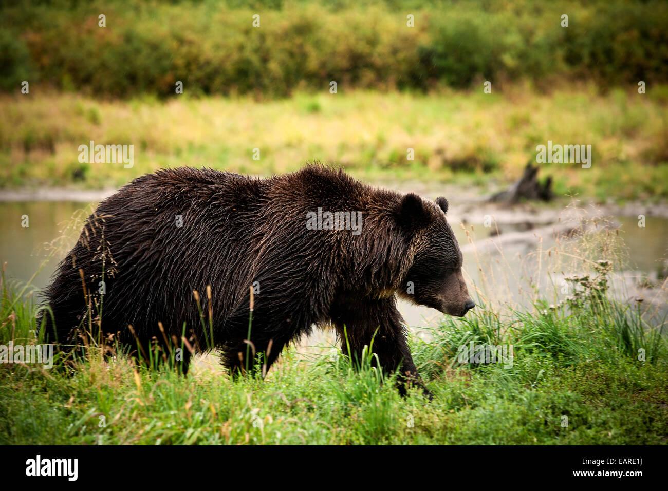 Grizzly Bear (Ursus arctos horribilis), Valdez, Alaska, United States Stock Photo