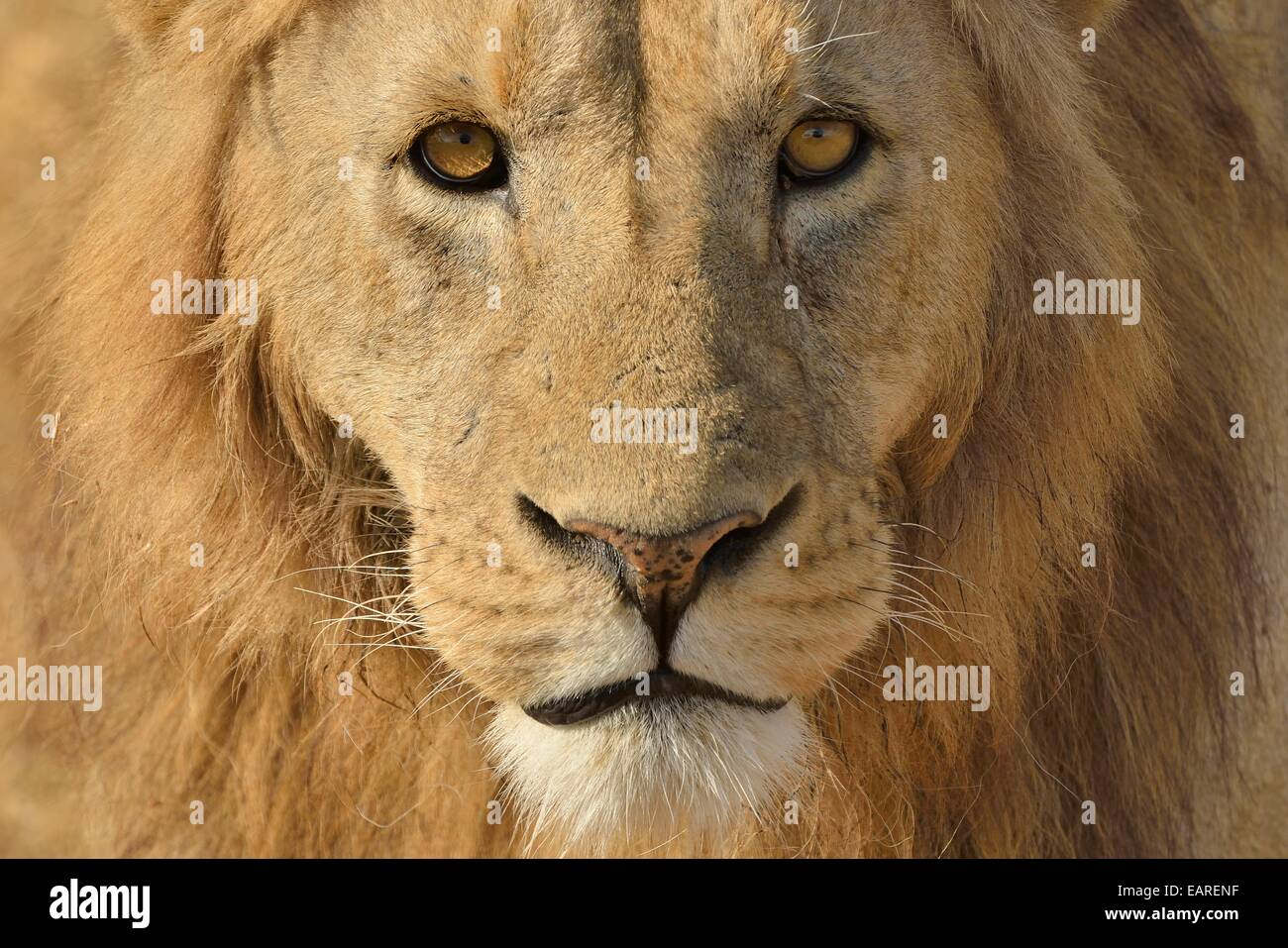 Lion (Panthera leo), with a mane, portrait, Ngorongoro, Serengeti, Tanzania - Stock Image