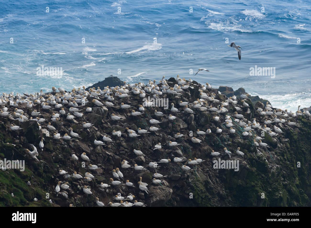 Gannet colony, gannets (Morus bassana), Mykines, Faroe Islands, Denmark - Stock Image