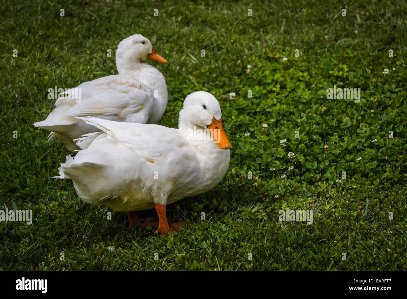Two white ducks on the wild green grass - Stock Image