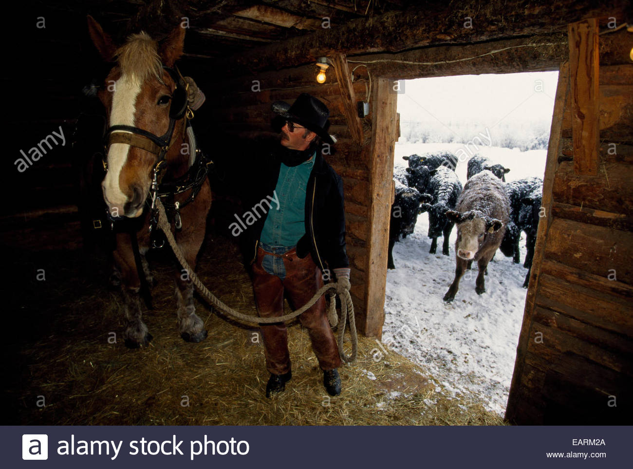 A cowboy prepares his draft horse for a morning of pulling a sleigh. - Stock Image