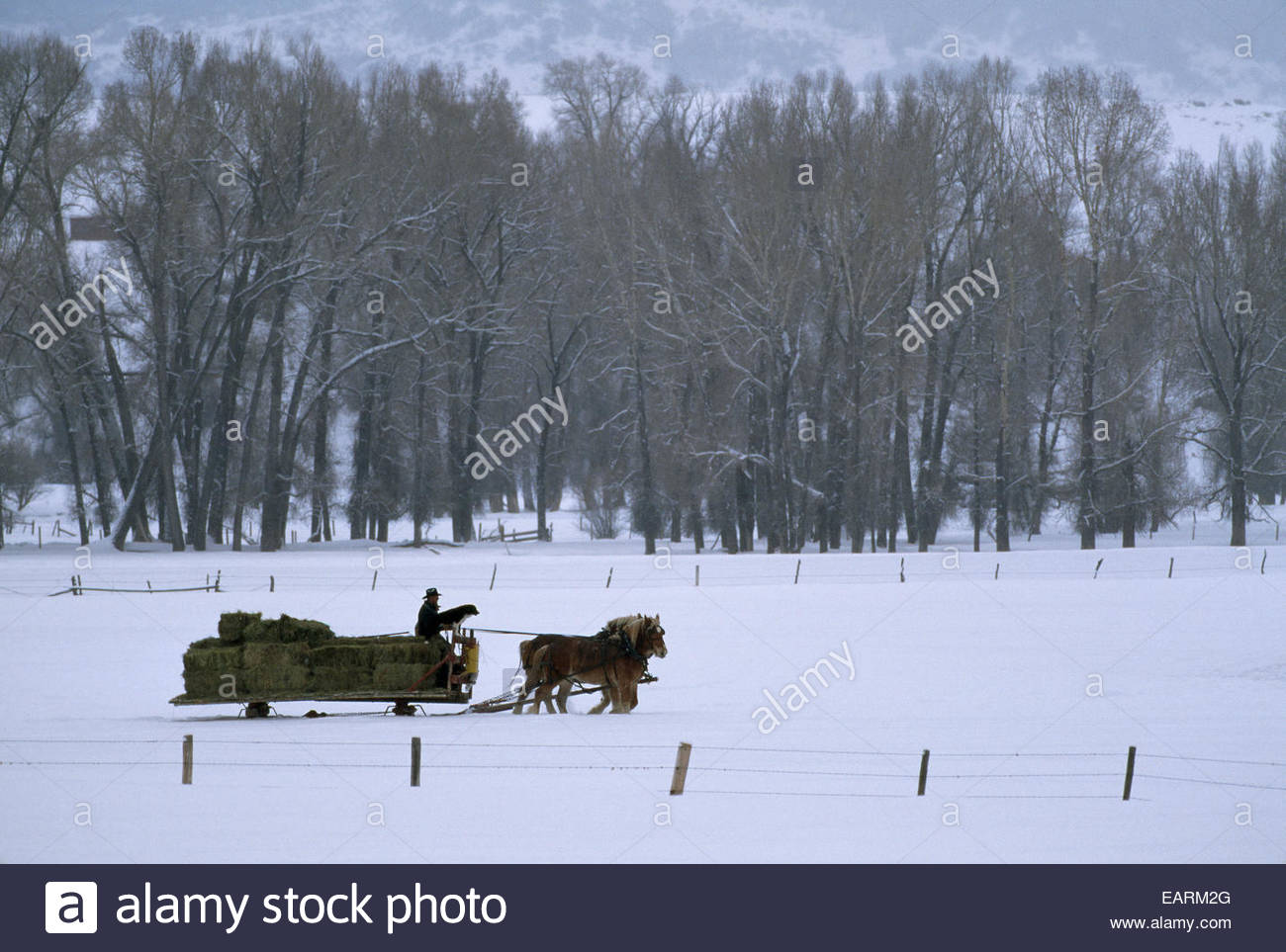 A cowboy and his Belgian draft horses pull a sleigh with cattle feed. - Stock Image