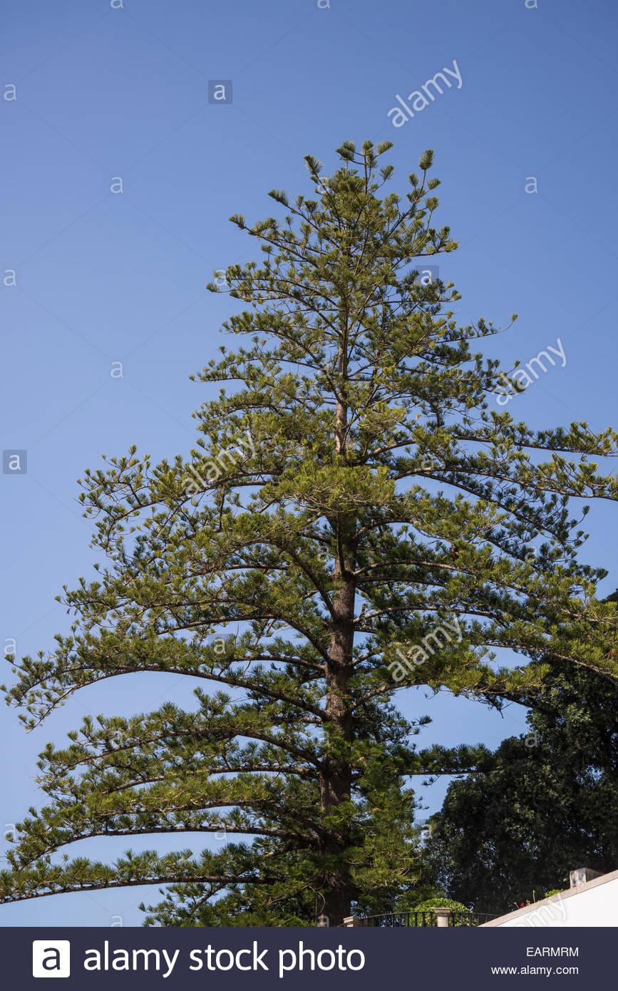 Pine tree, Sintra, Portugal - Stock Image