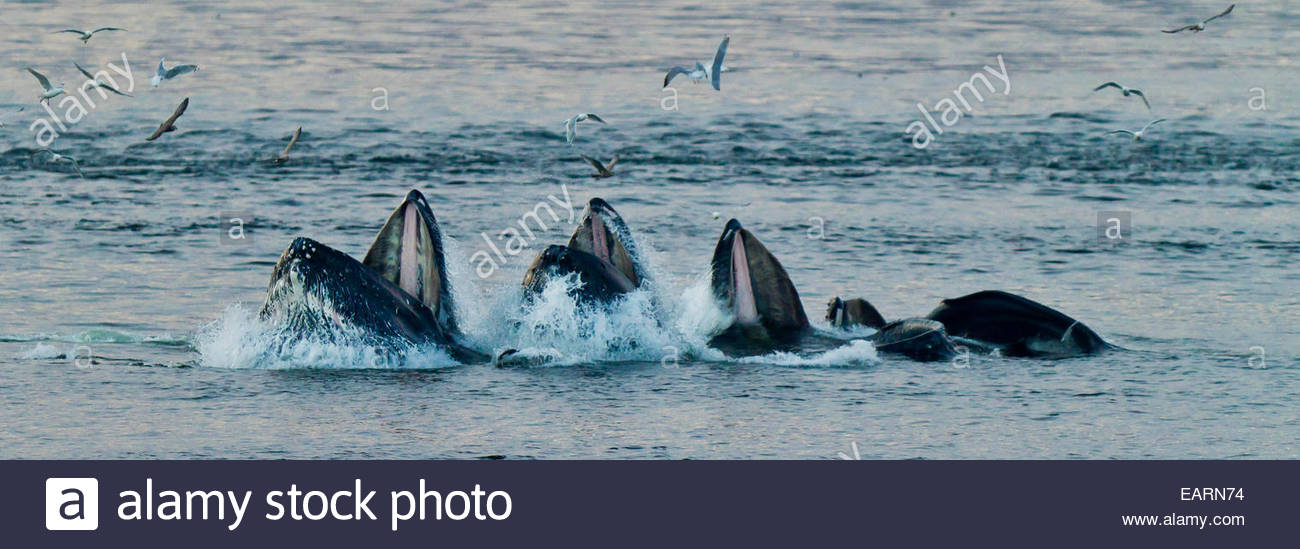 Humpback whale feed at the surface of the ocean. - Stock Image